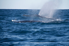 Humpback Whales Blowing (IAGD+P) Tags: manly sydney blowing whales humpbackwhales northernbeaches whaleseason