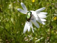 Goldkfer 3 (bratispixl) Tags: germany oberbayern spot tele insekten schrfentiefe margeriten chiemgau lichtwechsel traunreut goldkfer fokussierung gartenwiese stadtrundweg bratispixl