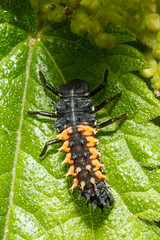 Ladybird larvae (Paul Braham Photography) Tags: macro animal animals closeup insect fly insects flies creatures