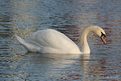 IMG_0178_k - Swan -Zwaan (Monique van Gompel) Tags: swan swans zwaan zwanen watervogel