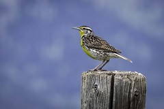 Western Meadowlark, Grand Teton National Park (HDRob) Tags: westernmeadowlark meadowlark grandtetonnationalpark grandtetons bird wildlife