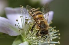 bee at work (Karibu kwangu) Tags: flower nature ape fiore honeybee