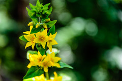 A yellow starflower (J.Dillemuth) Tags: purple flower nature vivid beautiful starflower nikond750 sigma 24105 nikon d750