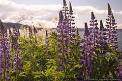 Lupin, Upper Fryken Lake, Sweden (Vipallica) Tags: pink flowers lake flower see purple sweden schweden sverige lupin lupine fryken övre övrefryken frykensjöarna upperfrykenlake