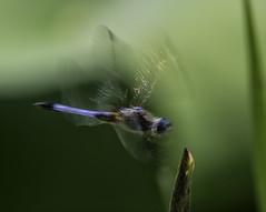 DragonFly_SAF7667 (sara97) Tags: nature insect outdoors dragonfly missouri saintlouis predator citypark towergrovepark mosquitohawk urbanpark photobysaraannefinke copyright2016saraannefinke