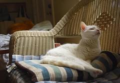 Charlie (rootcrop54) Tags: white male window cat chat naturallight charlie kitteh faux  macska gatto katzen rattan kot koka kedi katt kissa kttur maka kucing  allwhite   kat  maek kais gorbe