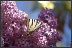 Le Flamb IMGP6057 (robert.fr.22) Tags: flowers fleurs insectes flore lilas papillons iphiclidespodalirius leflamb