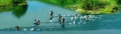 ... and suddenly they took flight! (+3) (peggyhr) Tags: family summer lake canada flying alberta series canadageese thegalaxy peggyhr bluebirdestates thegalaxyhalloffame super~sixstage2silver super~sixstage3gold super~sixstage4art hiddenlakespuddlesrainforestinkbluewater rainbowofnaturelevel1red rainbowofnaturelevel2orange myhatsofftoyou mothernature infinitexposurel1 infinitexposurel2 amazingmomentsinphotographylevel1 level1peaceawards level2platinumpeaceaward super~sixbronzestage1 60faves~ 30faves~ amazingmomentsinphotographylevel2 dsc08969e