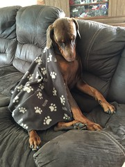 Time For An Afternoon Nap - Red Male Dobermann Pinscher Zeus After A Busy Morning (firehouse.ie) Tags: boy red dog brown male time tan canine zeus german blanket doberman dobie pinscher k9 dobe dobermann dobermans pinschers dobermanns doggins