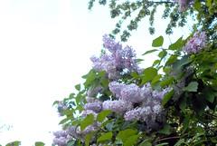 Et il n'y a pas le parfum! (Rumskedi) Tags: flore monde europe belgique ndda lilas ndda11052016