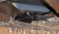 IMG_3500 (Helios Images) Tags: chicks brooding nesting swifts bbcspringwatch