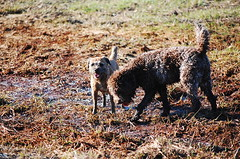 DSC_0168 (juliapee) Tags: dogs spring borderterrier dogsplaying lagotto romangolo