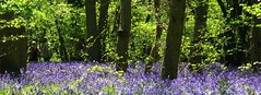 Walking in the bluebell woods (TempusVolat) Tags: wood flowers blue wild flower beauty bluebells woodland interesting flickr pretty image swindon picture attractive getty gw walkers bluebell gareth goodlooking tempus volat wonfor mrmorodo garethwonfor tempusvolat