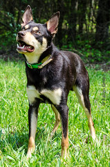 Limit 1 Year Old 05-09-2013-5 (falon_167) Tags: dog australian limit kelpie australiankelpie