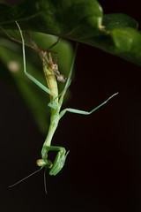 Baby Mantis I ('SeraphimC) Tags: baby plant mantis pepper nymph moulting mantid preying