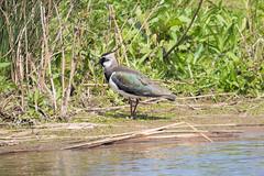 Lapwing (Kate M Gray) Tags: bird london wetlands lapwing barnes wwt kategray panasonicgh3