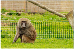 Nature: city monkeys (9) (H. Bos) Tags: nature monkey spring natuur lente flevoland aap almere kemphaan stichtingaap waterlandseweg stadslandgoeddekemphaan schermalmere almerescherm biepbeeb