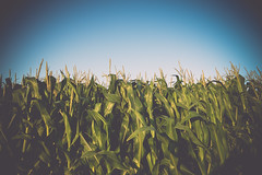 Resource (klikekyle) Tags: field corn