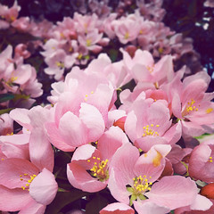 (monsters.monsters) Tags: pink tree petals spring blossom nectar blossoming crabappletree