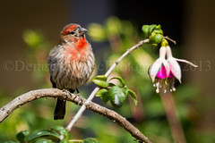 House Finch (DeniseDewirePhotography) Tags: bird branch fuschia ventura housefinch olivasadobe