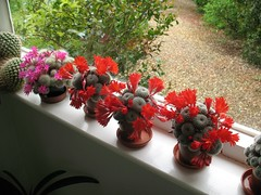 Front porch with Mammillaria and Rebutia cacti flowering, 21 Beechwood 5th May 2011 (jrcollman) Tags: plants places archived rebutia mammillaria mplant importedtags rplant 21beechwoodinterior jeffs5thmayto14thmay2011