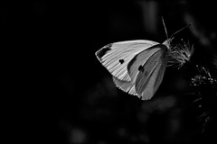 "notturna ... metamorfosi ("" paolo ammannati "") Tags: macro primavera me raw natura 1001nights biancoenero farfalla effettinaturali"