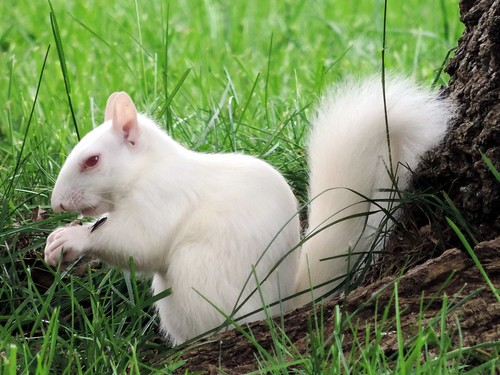 Albino Platypus