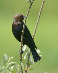 Brown-headed cowbird (canuck4everr) Tags: cowbird brownheadedcowbird molothrusater brownheaded