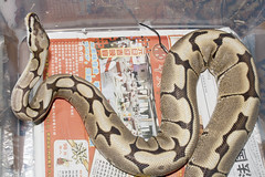 Spider Ball Python (fab_rice2) Tags: