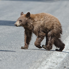 Bear XING (dbushue) Tags: road bear cub nikon crossing cinnamon wildlife yellowstonenationalpark wyoming blackbear ynp yearling ursusamericanus coth elkcreek supershot 2013 dailynaturetnc13 photoofthedaynwf13