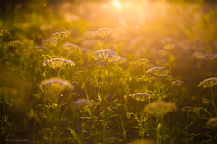 01-2013_06_12_21-__ (Yury Augulis) Tags: sunset summer nature beauty grass      2013