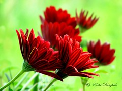 garden flowers (Elahe Dastgheib) Tags: summer flower nature garden elahe