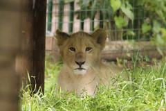 Zuri (philipbrown77) Tags: canon cub lion bigcat whitelion paradisewildlifepark 600d flickrbigcats flickrbigcat