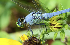 Male Eastern Pondhawk Dragonfly (jwinfred) Tags: life wild macro nature mississippi lens nikon dragonflies sigma insects delta swamp cypress mm 300 preserve greenville f4 d7000