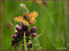 Silver Washed Fritillary (eric robb niven) Tags: butterfly cycling scotland raw dundee ngc macros dunkeld picnik fritillary pentaxk200d ericrobbniven
