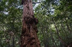 Tree with a Lump (MrBlackSun) Tags: mountains oz australia bluemountains nsw newsouthwales aussie katoomba thebluemountains federalpass
