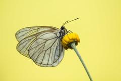 Aporia crataegi_macro_Arezzo (Valentina Vassallo) Tags: flowers macro butterfly fiori toscana farfalla arezzo aporia crataegi 55250 canon600d