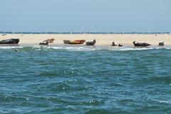 Seal colony on Scroby Sands #3 (Moldovia) Tags: greatbritain england nature animals outdoor wildlife norfolk seals greatyarmouth eastanglia wildanimals sealcolony bridgecamera scrobysands fujifilmfinepixhs20exr