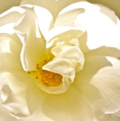the heart of a petal (mendolus shank) Tags: white rose creamy interior hot yellow mendolus shank letsdance tonightaway
