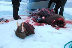 Walrus Hunt 8_5_13 1 363 (efusco) Tags: ocean sea ice alaska native arctic butcher hunter beaufort walrus hunt midnightsun iceburg floe inupiat inupiaq aivik femalewalrushunt85131
