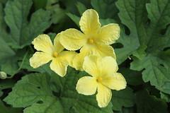Light Yellow (Bitter squash flower) (Diem Tuyet : Naturally nature...!) Tags: zero diem tuyet