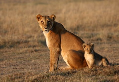 mom & me (Calvinbhai) Tags: africa female sunrise dawn cub warm lion safari mara masai mws mygearandme mygearandmepremium mygearandmebronze