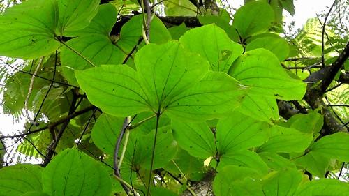 dioscorea hispida Dioscorea hispida dennst common names asiatic bitter yam in english asiatic bitter yam in language bittere yamswurzel in german inhame in language.