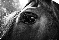 Reflection ( S. D. 2010 Photography) Tags: horse white black reflection eye animal photoshop reflections 11 adobe element equine