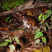 "Smokey Jungle Frog - Leptodactylus pentadactylus • <a style=""font-size:0.8em;"" href=""http://www.flickr.com/photos/101688182@N03/9838223376/"" target=""_blank"">View on Flickr</a>"