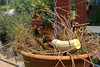 a bit sleepy (Grenzeloos1) Tags: possum baby cute brisbane sleepy queensland kenmore plantpot