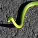 Green Snake along Lake Fayetteville Trail - Fayetteville, Arkansas