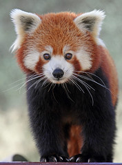 Red Panda (Buggers1962) Tags: portrait nature face animal closeup canon mammal zoo firefox panda close wildlife redpanda colchester colchesterzoo greatphotographers itsazoooutthere canon7d highqualityanimals top25naturesbeauty