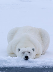 Teddy Polarbear in the Packice :)...(Explored, my 150th) (Pewald) Tags: bestcapturesaoi