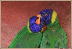Trichoglossus haematodus (Isabel Fagg) Tags: avifauna regenbooglori